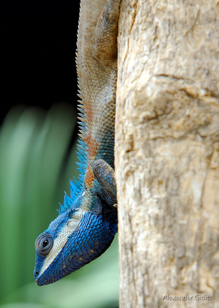 Blue headed lizard  by Alexander Gitlits