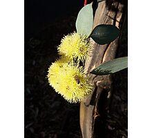 Golden Gum Photographic Print