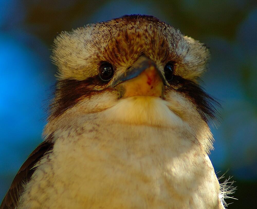 Andrew the Kookaburra by matthew maguire