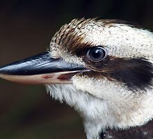 Kookaburra 2 by Janine  Hewlett