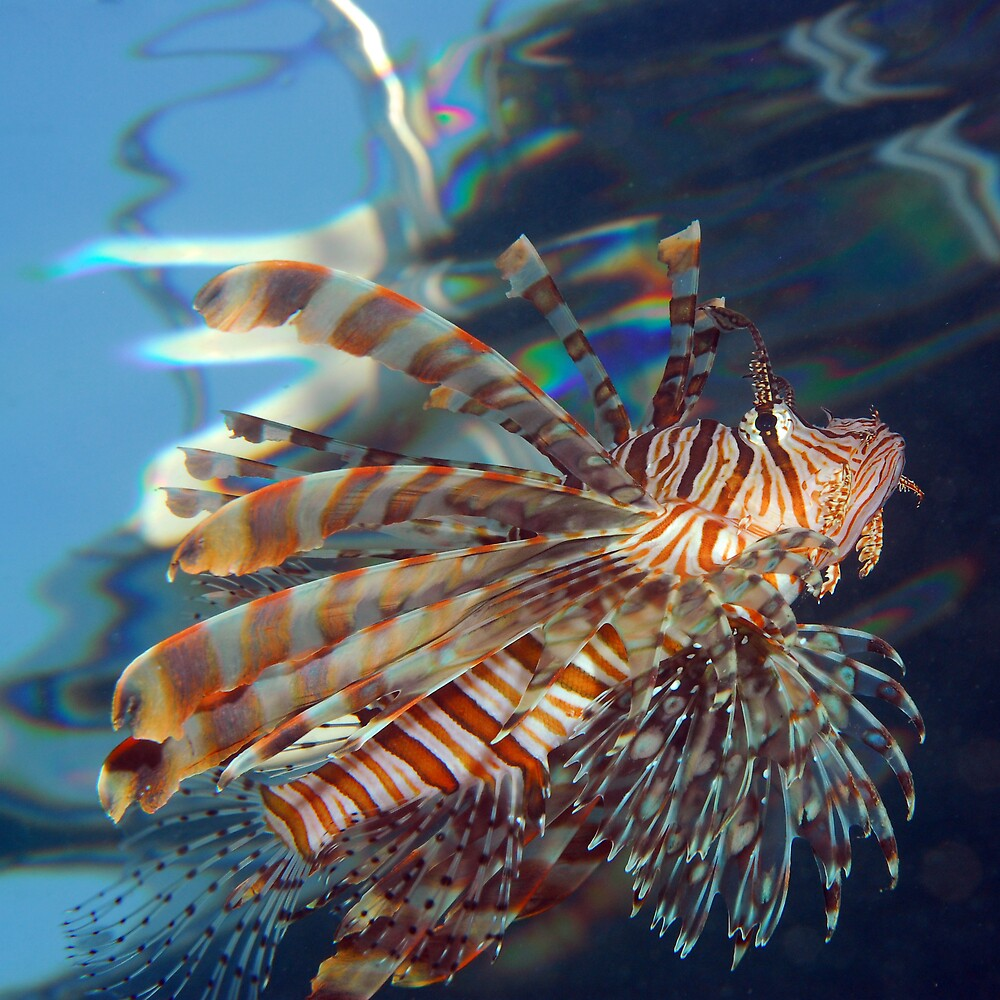 lionfish hunting by lucy trippett