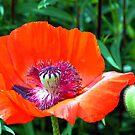 Red Poppy by John Dalkin