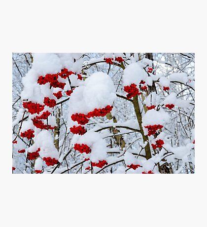 Winter Mountain ash berries Photographic Print
