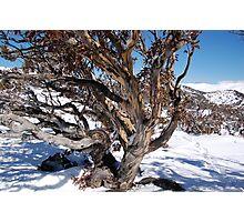 Winter snowgum Photographic Print