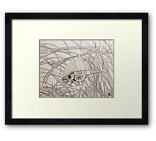 Pygmy Possum  Framed Print