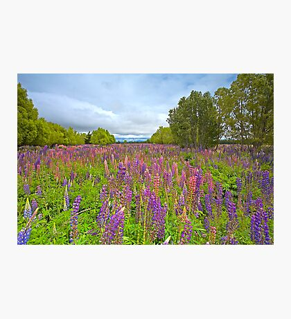 Lupin River Photographic Print