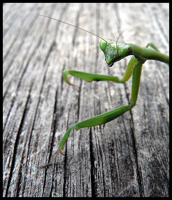 Mantis by Bryant Evans