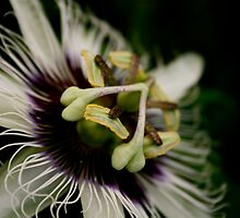 Passionfruit Flower by AmyLaurie