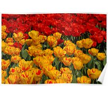 Mass of spring colour - Tulips in London Poster