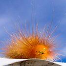 Tiger moth caterpillar by Vanessa Pike-Russell