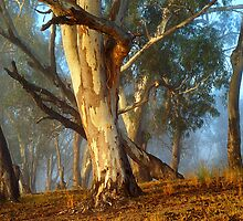 River Gums by Hans Kawitzki