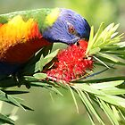 Hungry Rainbow Lorikeet by Paul Barber