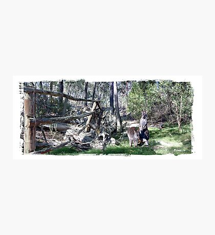 Joey Kangaroos Photographic Print