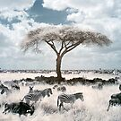 Infrared acacia by David Burren