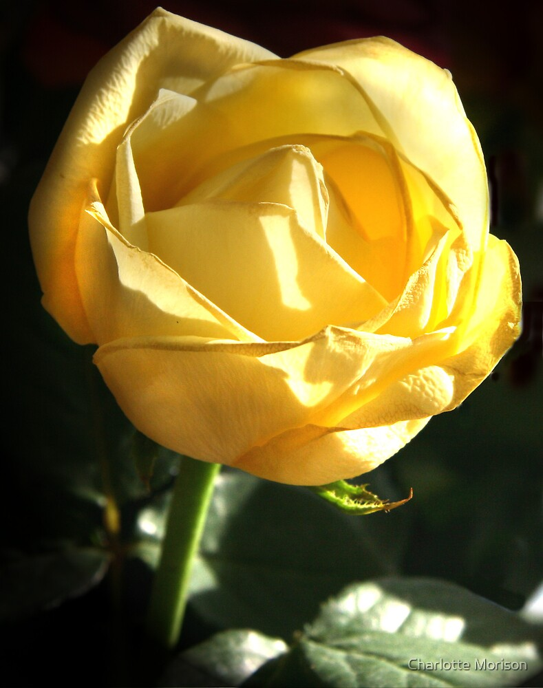 Yellow Rose by Charlotte Morison