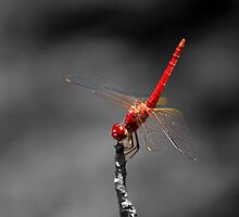 Dragonfly by Janine  Hewlett