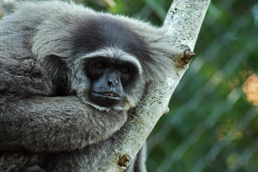 Silvery Gibbon by Mark Baker