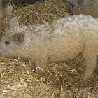 Is it a sheep or a pig? by Sue Gurney