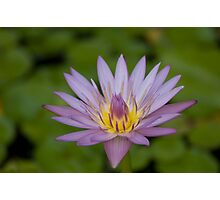 Purple Waterlily on the Pond Photographic Print