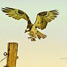 Osprey Pole Landing by Deborah  Benoit