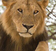 Lion resting in tree by David Burren