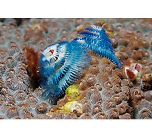 Blue Christmas Tree Worms Photographic Print
