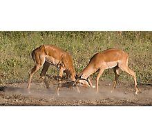 Impala scuffle Photographic Print