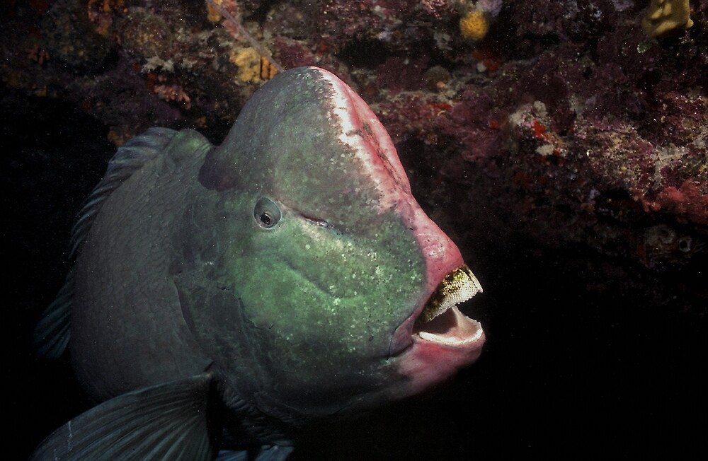 Bumphead Parrotfish by Grey