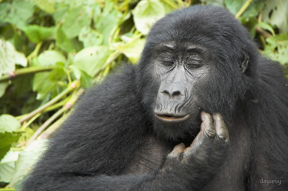 Female Highland Gorilla, Uganda by dawesy