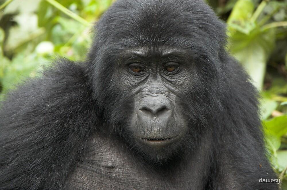 Juvenile Highland Gorilla 2, Uganda by dawesy