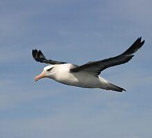 Black-browed Albatross by David Burren