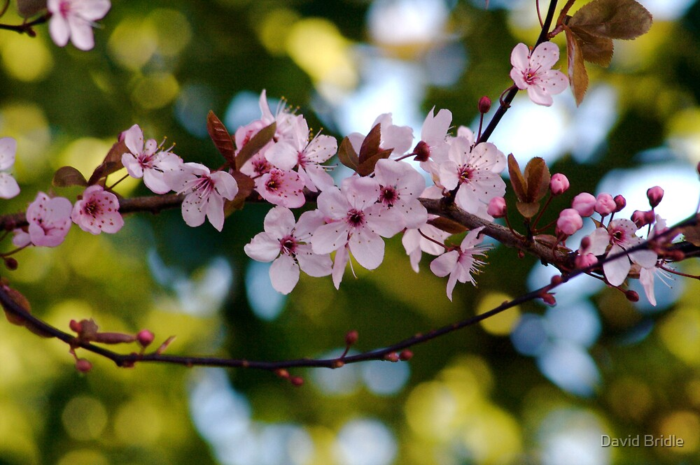 Blossom by David Bridle
