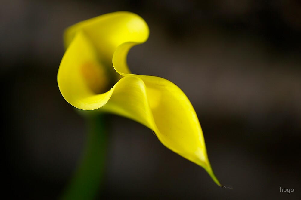 ARUM LILLY YELLOW by hugo