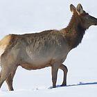 Colorado Elk by Betsy  Seeton