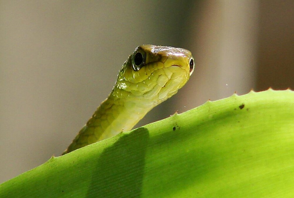 """Peeping"" Tree Snake by diddle"