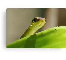 """Peeping"" Tree Snake Canvas Print"