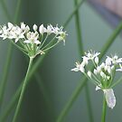 Garlic Chive Flowers by stormygt