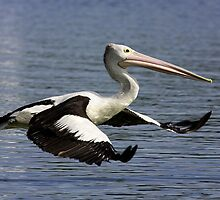 Pelican in Flight by Jenni Horsnell