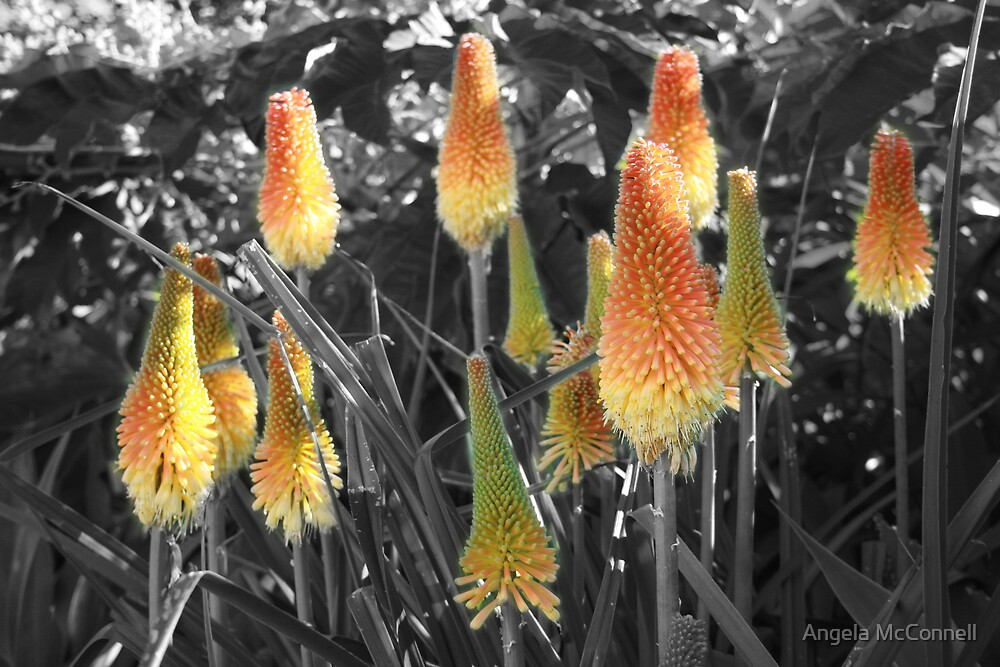 Red Hot Poker by Angela McConnell