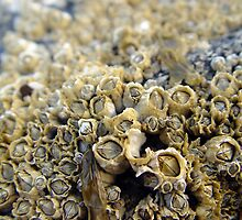 Barnacles by SperingPhotography