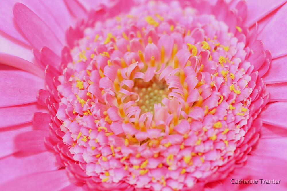 Pink Gerbera by Catherine Tranter