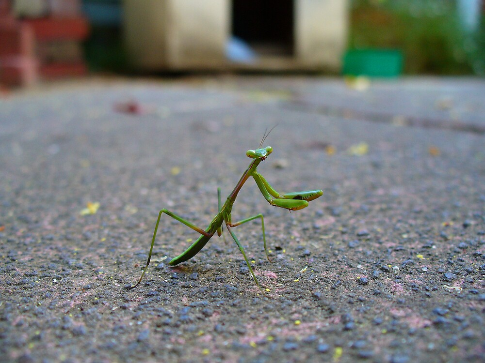Praying Mantis by N Chester