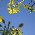 Oilseed by Sarah Marks