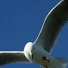 Seagull by Kathryn Steel