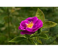 Autumn Roses Photographic Print