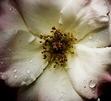 Antique Rose by AquaMarina