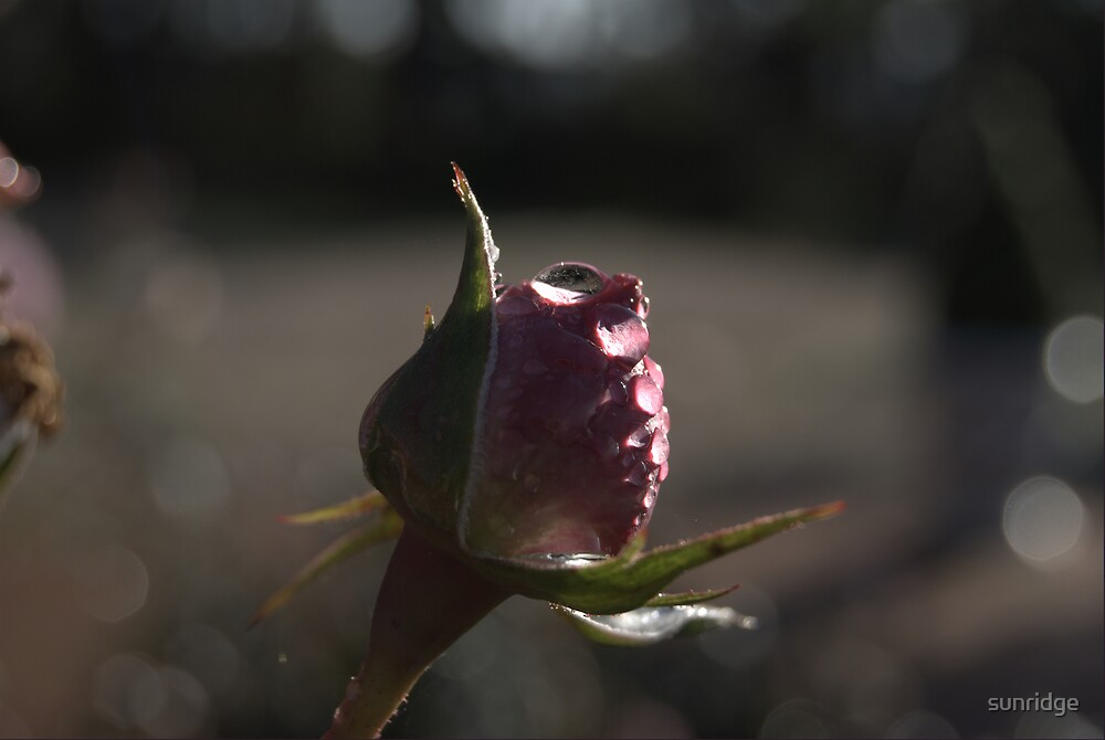 A rose bud ready to open by sunridge