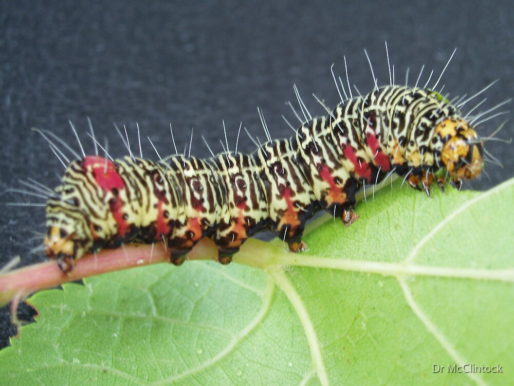Grapevine Caterpillar by Dr McClintock