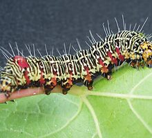 Grapevine Caterpillar by Dr McClintock
