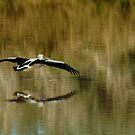Pelican,Diamantina River, Outback Queensland by Joe Mortelliti